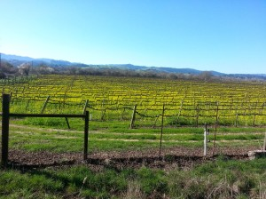 Russian River Valley, looking west, in mustard glory